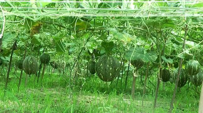মিষ্টি কুমড়ার বাম্পার ফলনে খুশি কৃষক
