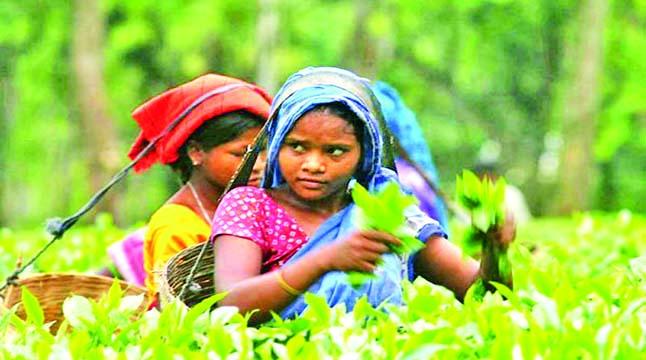 কমলগঞ্জে চা শ্রমিকের জন্য পাঁচ কোটি টাকার প্রকল্প