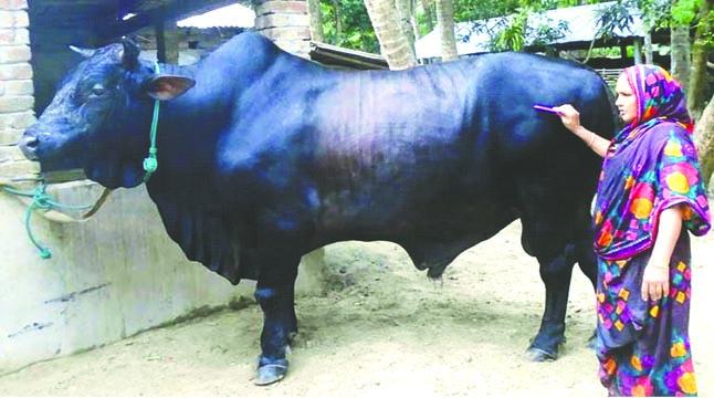 পালসার বাবু