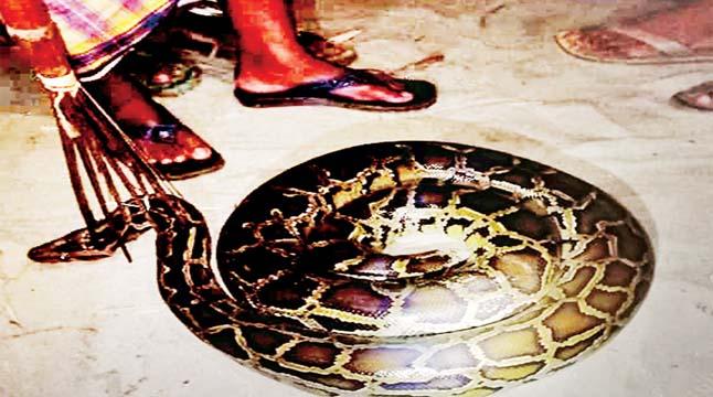 লোকালয়ে অজগর