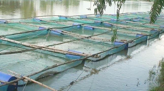 জনপ্রিয় হচ্ছে ভাসমান খাঁচায় মাছ চাষ
