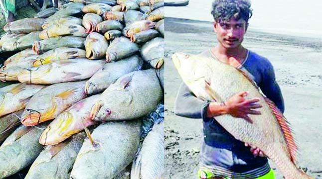 ৮১ স্বর্ণালি পোপা মাছ ৪০ লাখ টাকায় বিক্রি