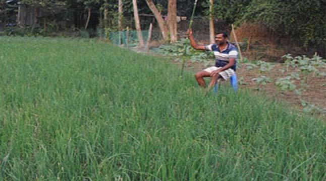 সিরাজগঞ্জে দিনেও পেঁয়াজ পাহারায় কৃষকরা