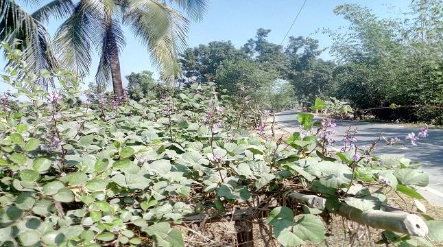 হরিপুরে রাস্তার পাশে লাউ সিম