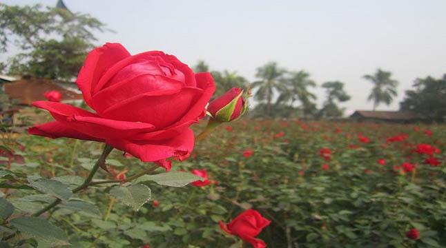 মহাব্যস্ত 'গোলাপ গ্রামে'র ফুলচাষিরা