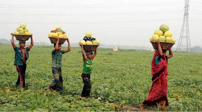 কুমিল্লায় ৫শ' একর জমিতে বাঙ্গি চাষ