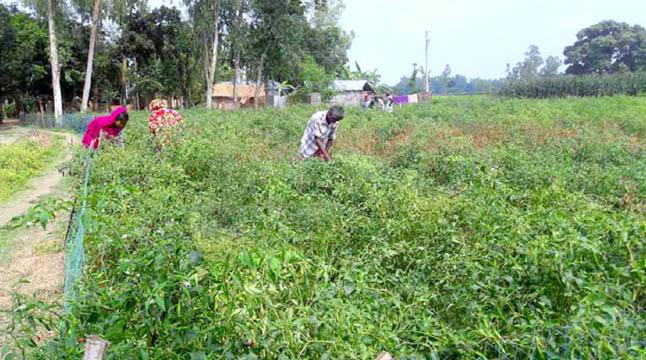 ঠাকুরগাঁওয়ে মরিচের বাম্পার ফলনে করোনার মাঝেও কৃষকের মুখে হাসি