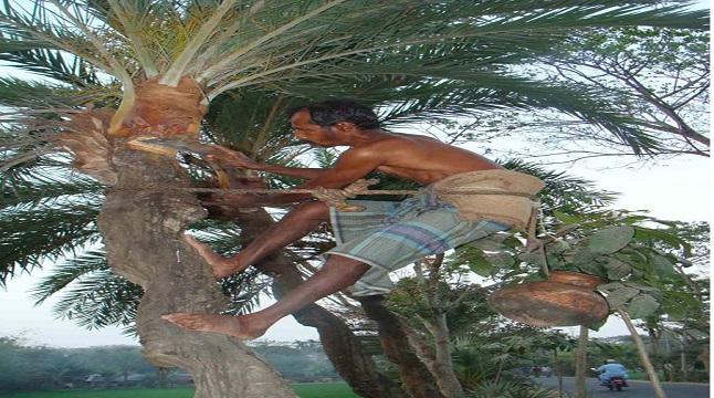 খেজুরের রস সংগ্রহে ব্যস্ত গাছি