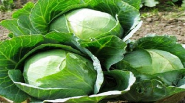 বাঁধাকপি রপ্তানি হচ্ছে সিঙ্গাপুর-মালয়েশিয়ায়