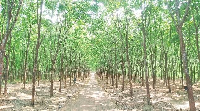 সম্ভাবনার রাবার বাগান