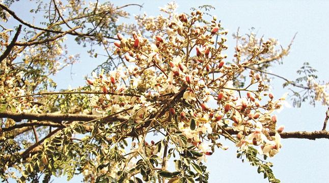 আত্রাইয়ে সজিনার বর্ণিল সাজ