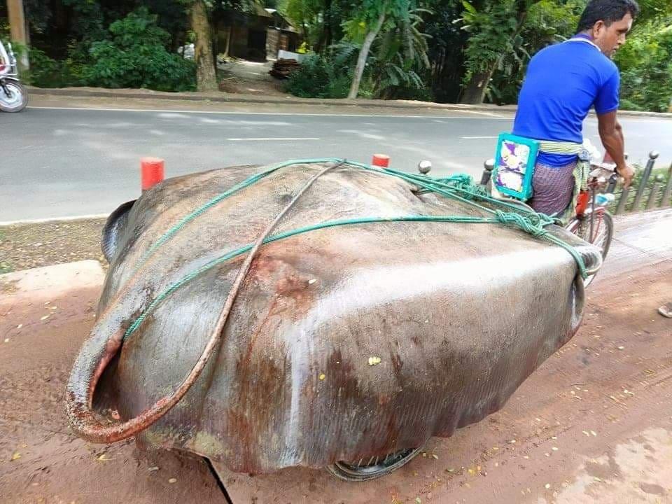 জেলের জালে ৪০০ কেজি ওজনের 'শাপলা পাতা' মাছ!...