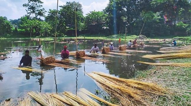 গোয়ালন্দে পাট ও পাটকাঠিতে লাভবান কৃষকরা